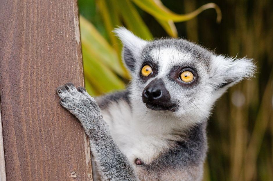 Lemur robado del zoo de Santa Ana aparece en hotel de Newport Beach