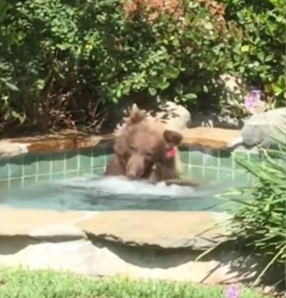 VIDEO: un juguetón oso disfruta de un jacuzzi en Altadena