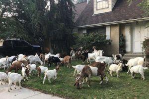 Escape de 75 ovejas y cabras genera caos en pueblo de Nueva Jersey