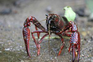 Cangrejos con aspecto de langosta amenazan el ecosistema de Los Ángeles