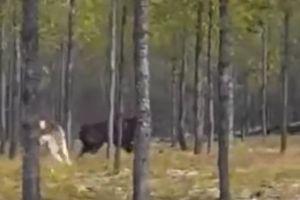 VIDEO: Un misterioso lobo de 7 pies ataca a un perro