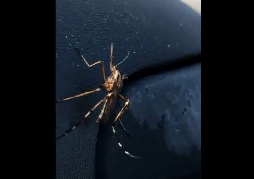 """Mosquitos """"gigantes"""", la pesadilla con la que deben lidiar en Carolina del Norte tras el huracán Florence"""