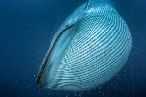 Encuentran una ballena con arnés y se cree que es una nueva arma rusa