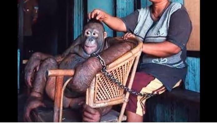 La terrible historia de la orangután que durante años fue esclava sexual - La Opinión