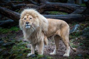 Provoca indignación subasta de raro ejemplar de león blanco