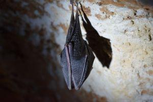 ¿Qué está matando a los murciélagos en Nueva York?