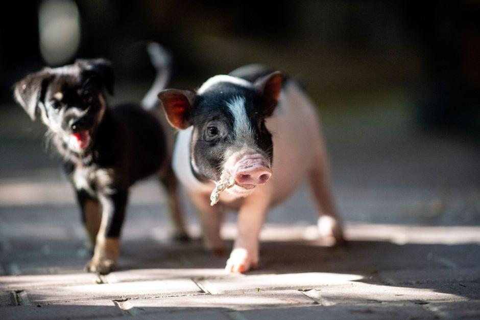 Una familia adopta al cerdo que pensaban comerse en Navidad