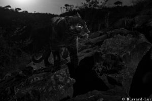 La pantera negra: la extraordinaria fotografía de este sigiloso gran felino