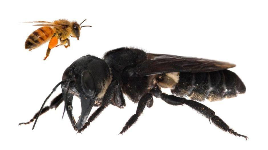 """Encuentran la abeja más grande del mundo: es """"un bulldog volador"""""""