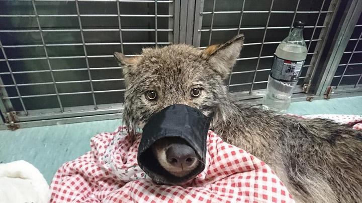 Rescatan a un perro de un lago helado y resulta ser un lobo