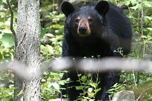 Autopsia revela que hombre que era comido por un oso murió por sobredosis
