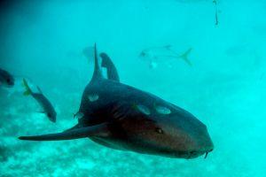 VIDEO: Salvavidas atrapan con sus manos un tiburón en Newport Beach