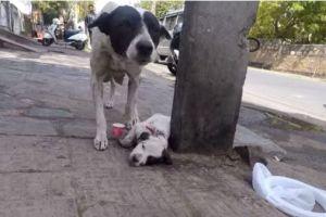 El desesperado llanto de una perra para pedir auxilio para su cachorro malherido