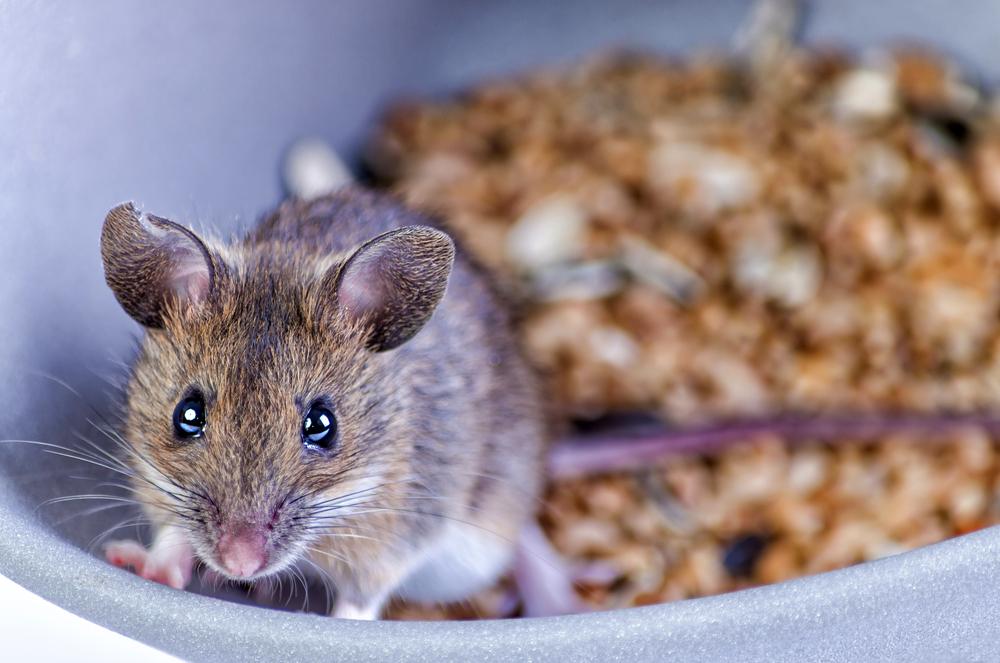 3 efectivas trampas para eliminar la plaga de ratas en tu hogar
