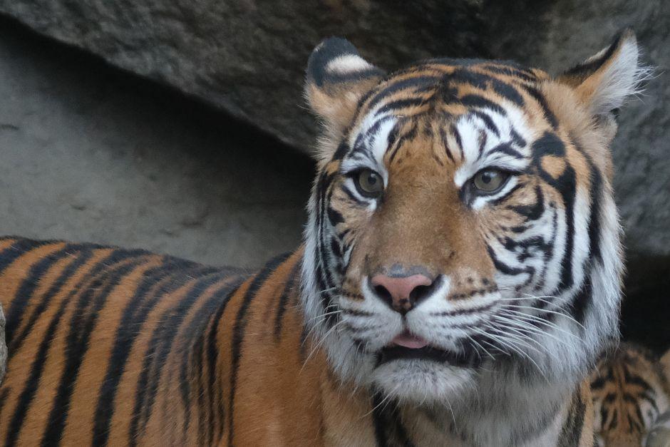Entró a una casa abandonada para fumar marihuana y encontró un tigre