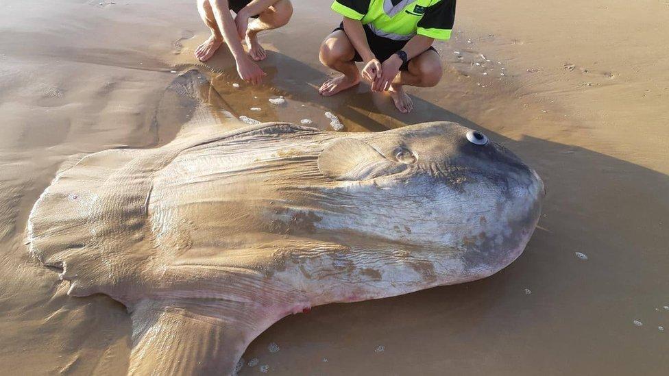 Encuentran un pez luna gigante en una playa del sur de Australia