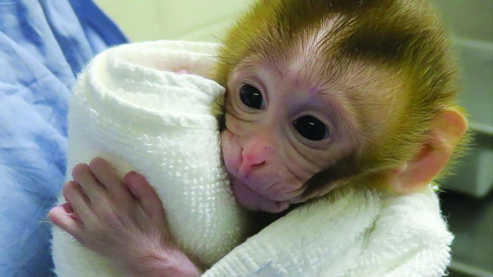 Baby Grady, el pequeño mono que podría ayudar a los niños con cáncer a ser fértiles cuando sean adultos