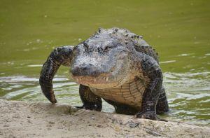 VIDEO: Captan la tenaz pelea de dos caimanes en un campo de golf de Carolina del Sur