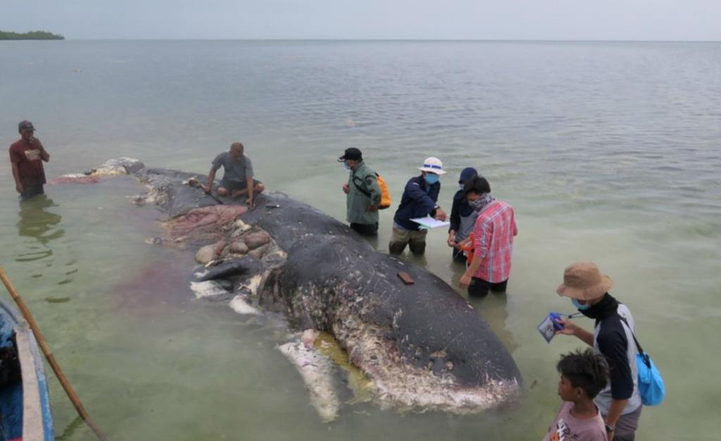 Indignante: ballena muere de hambre, tenía más de 88 libras de plástico en el estómago