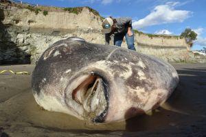 Un gigantesco y raro pez aparece en una playa de California