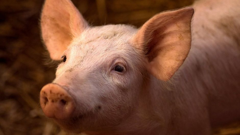 """Cómo unos científicos lograron """"resucitar"""" los cerebros de varios cerdos 4 horas después de muertos"""