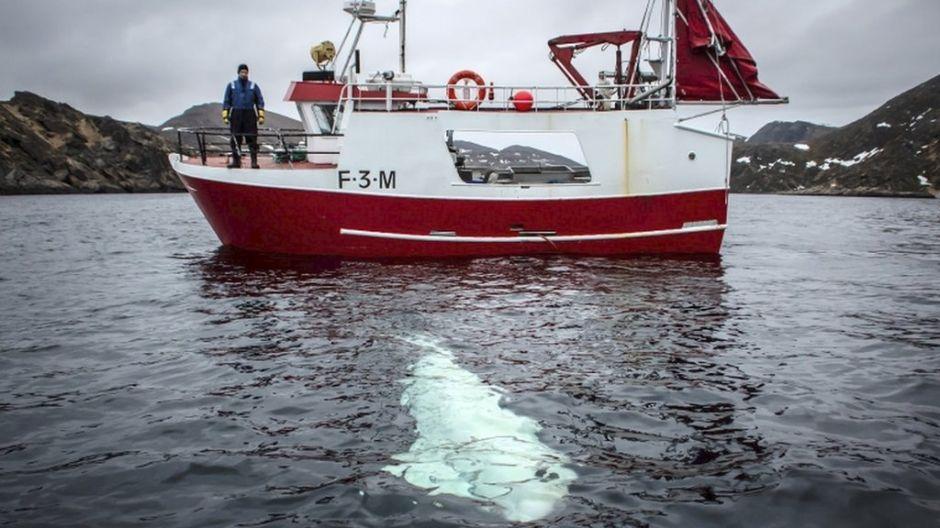 """La """"ballena espía"""" rusa que apareció siguiendo a unos barcos en Noruega"""