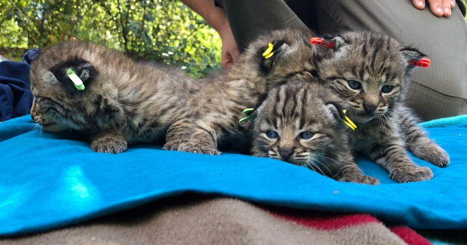 Cuatro cachorros de gato montés nacen de una gata que sobrevivió al incendio Wolsey