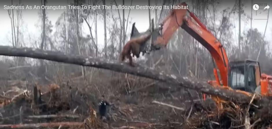 El valiente intento de un orangután contra los humanos que destruyen su hogar