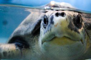 La terrible FOTO de la tortuga que quiso desovar en una playa, pero se encontró con un aeropuerto