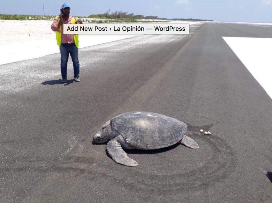 Una tortuga deja sus huevos en una pista de aterrizaje, antes era una playa