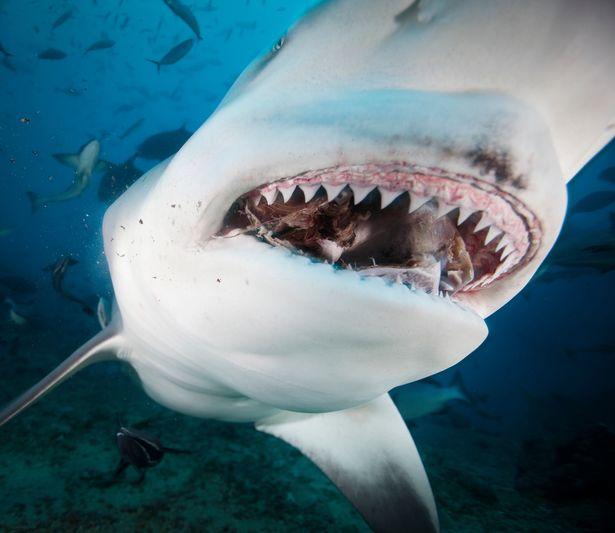 Tiburón ataca y devora a un surfero