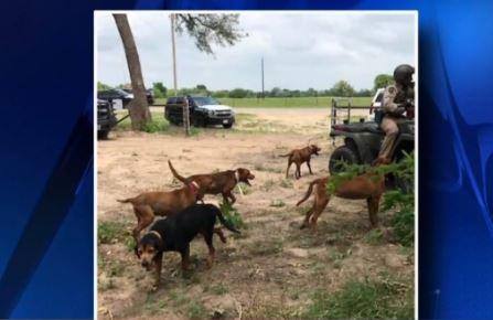 150 arrestados por peleas de gallos ilegales en área de San Antonio