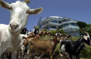 Un perro y una cabra son elegidos alcaldes y recaudan donaciones para un curioso fin