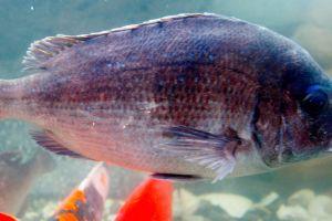 Este pez está poniendo en peligro una industria de miles de millones de dólares en EEUU
