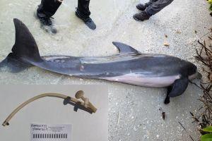 Este delfín muerto en Florida tenía una manguera de plástico dentro de su estómago