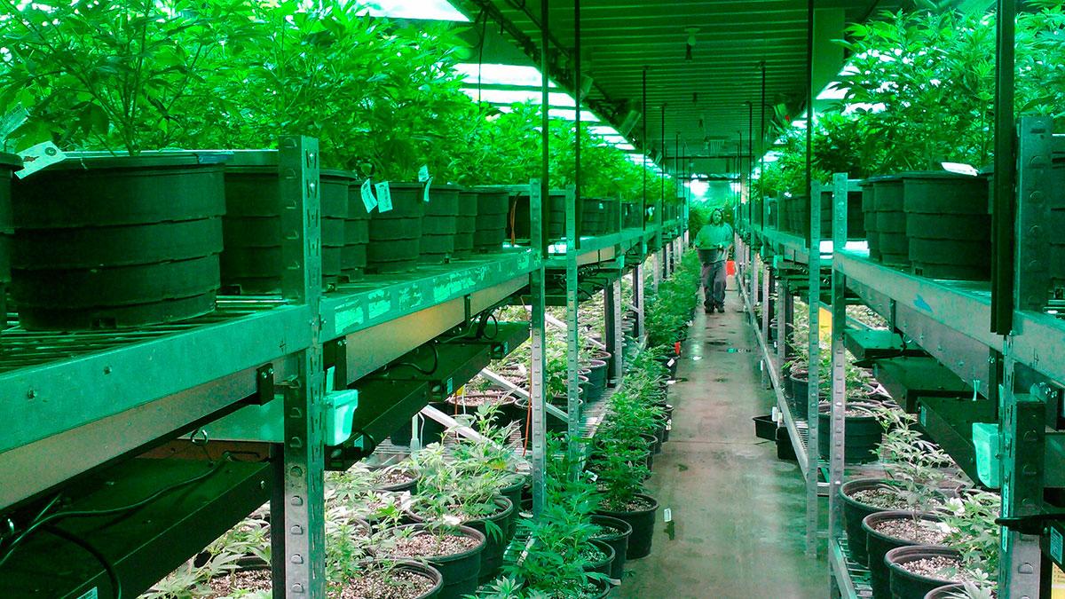 Imagen ilustrativa de un lugar de cultivo legal de marihuana.