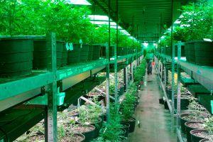 Detienen a pareja que tenia 900 plantas de marihuana en una residencia de San Jacinto, California