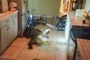 ¡Visita sorpresa! Un caimán de casi tres metros y medio entra de madrugada a casa de una mujer