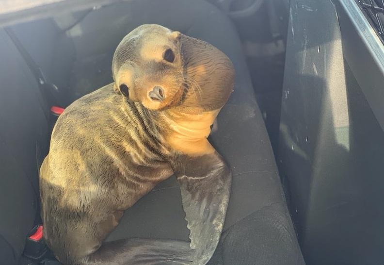 Policía rescató a un león marino bebé en autopista de San Francisco