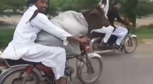 El video de una vaca viajando en moto que ha causado furor en Internet