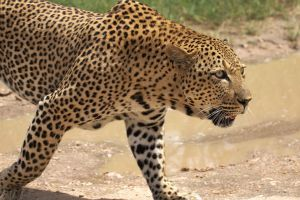 Un leopardo mata a un niño de 2 años en el Parque Kruger de Sudáfrica
