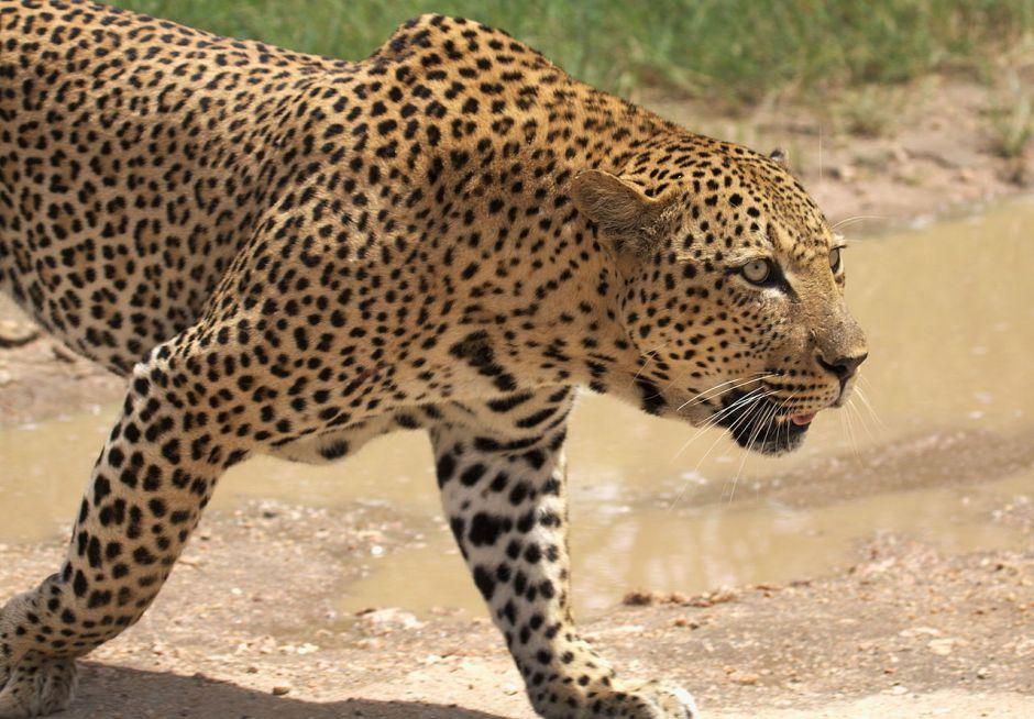 VIDEO: Un leopardo cazando se lleva una gran sorpresa en un parque de Sudáfrica