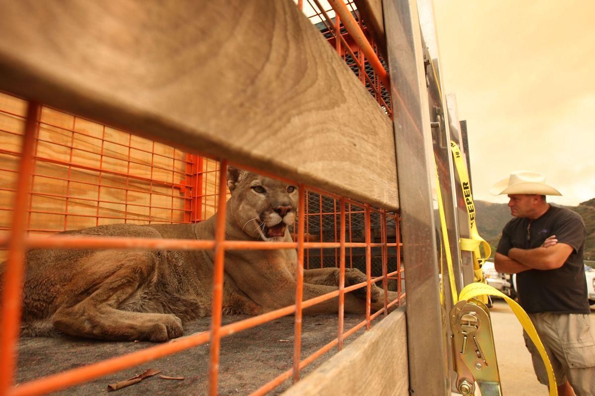 De acuerdo al estudio, los leones de montaña tienen un profundo impacto en su entorno, que apoyan la salud general de los ecosistemas de California.  (Photo by David McNew/Getty Images)
