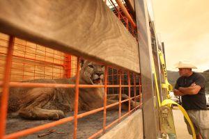 Activistas quieren que se proteja a los leones de montaña en California
