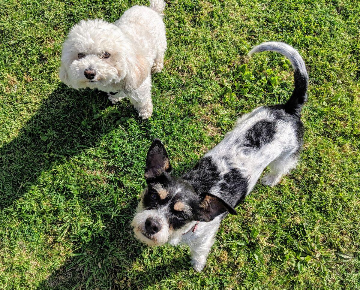 El Departamento de Servicios de Animales recomienda que las mascotas tengan una licencia para ser identificadas en caso de que se pierdan. (Jacqueline García)