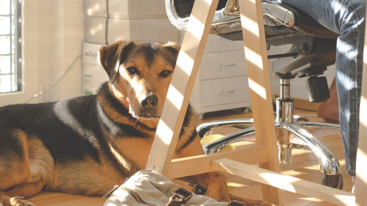 Más de 7,000 perros van a 'trabajar' a las oficinas de Amazon