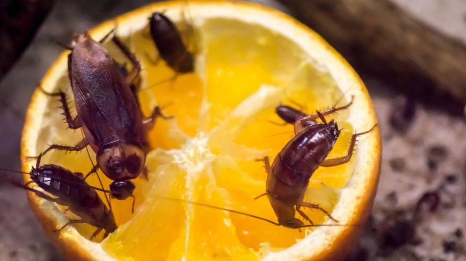 Por qué las cucarachas se están volviendo resistentes a los insecticidas (y por qué debería preocuparnos)