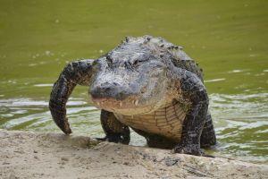 Golfista lanza bola, queda atrapada en la cola de un caimán y se atreve a recuperarla