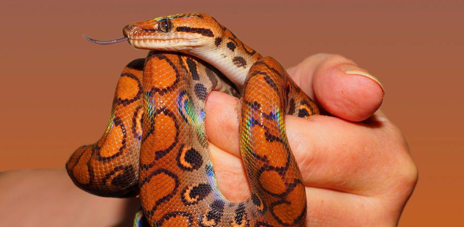 Una serpiente sobrevivió tres días dentro del motor de un auto