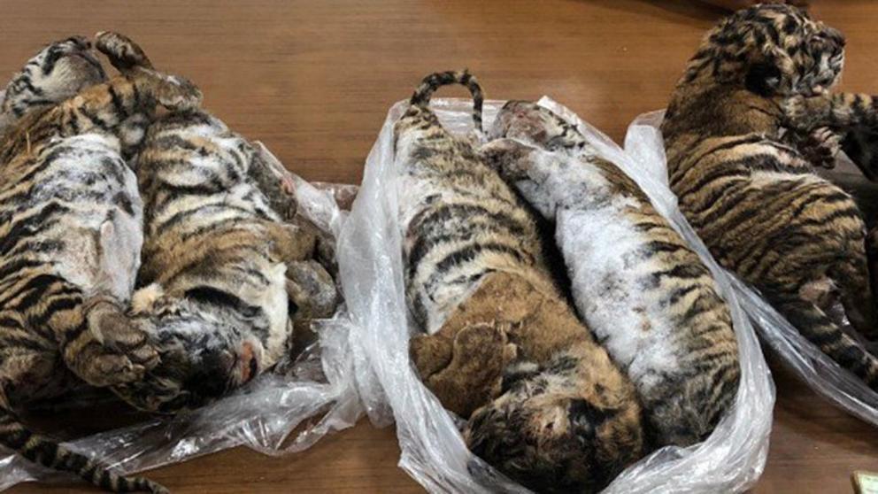 Así hallaron a los siete tigres congelados.